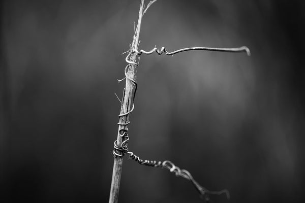 Minimalist black and white photograph of a winter stem wrapped with the clinging tendrils of a tiny vine.