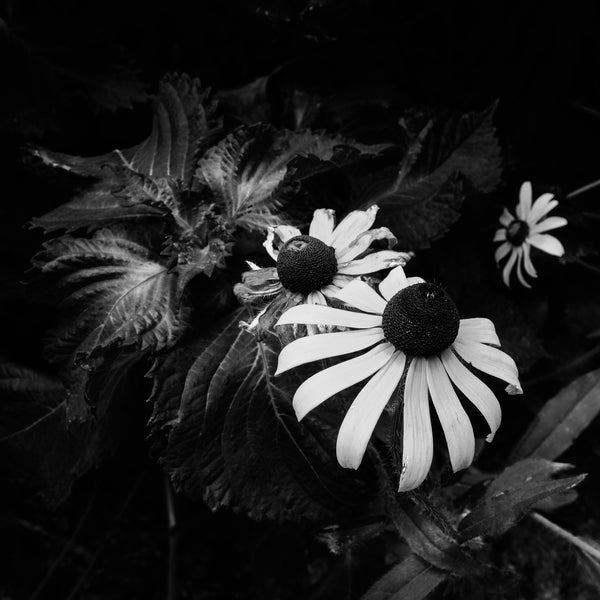 Black and white photograph of three yellow blooms found in the shade amongst a dense patch of summer wildflowers. (Square format)