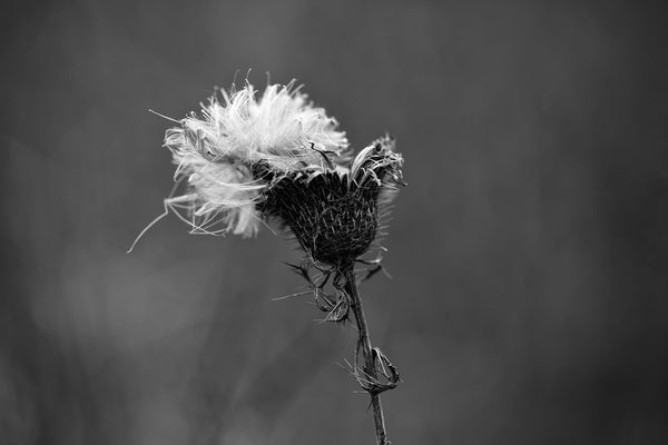 Black and white minimalist landscape photograph of a thistle with a fluffy white cap of seeds bursting from its top seen on a dark and gloomy winter day.