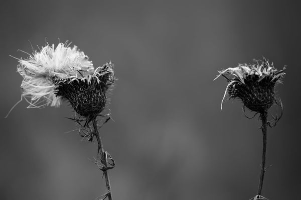 Dark and atmospheric black and white photograph of two winter thistles with white seed fluff on their tops.