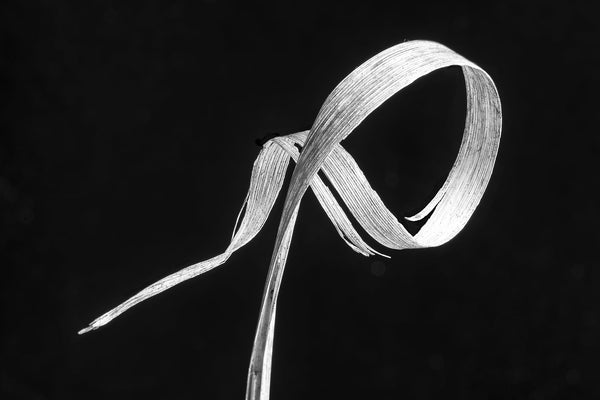 Black and white close-up photograph of a blade of winter grass swirled into a curl that resembles a whimsical gesture.