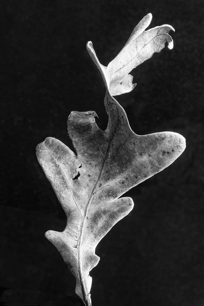 Black and white close-up photograph of a twisted oak leaf photographed against a dark background.