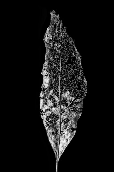 Black and white detail photograph of a the beautifully intricate skeleton of a partially decomposed fallen leaf.