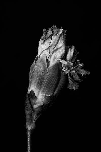 Black and white photograph of a flower pulled from a bouquet of flowers, which is now past its prime in spite of the fact that it never fully opened.