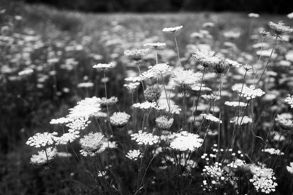 Black and white landscape photograph of Queen Anne's lace across the northern prairie in summer.