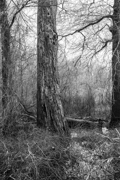 Black and white landscape photograph of a huge old tree standing amidst the briars and brambles of a shallow wetland.
