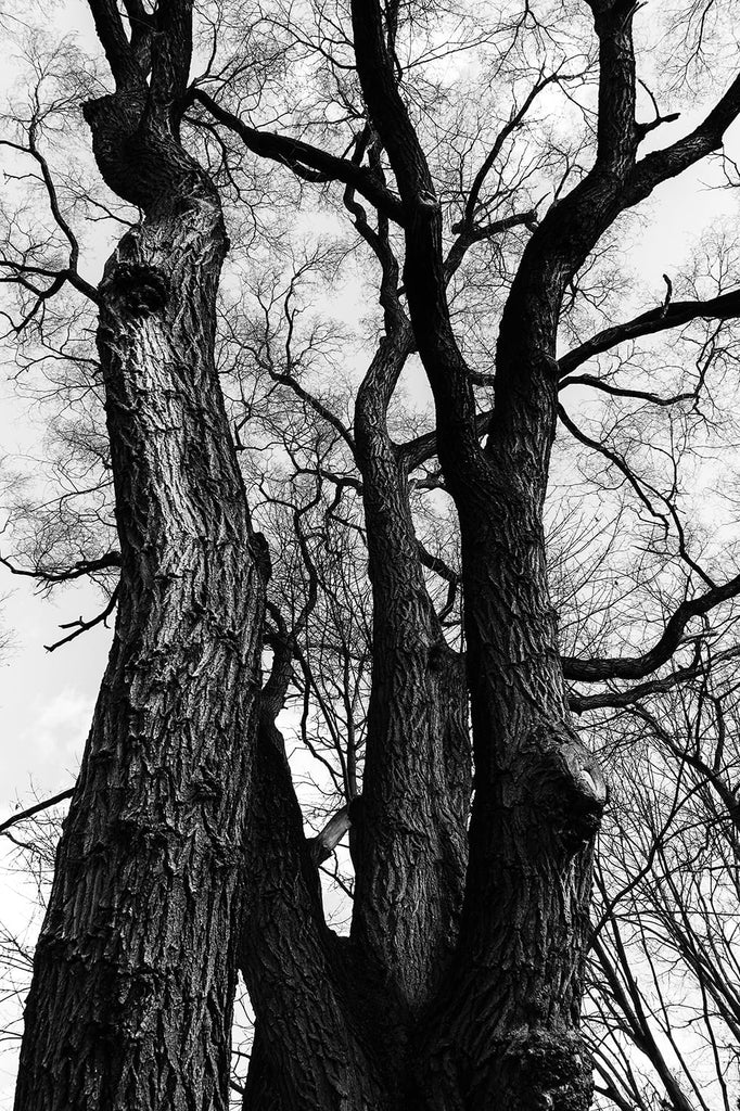 Black and white fine art photograph looking up at the beautiful branches of barren winter trees near the Atlantic coast of Massachusetts.