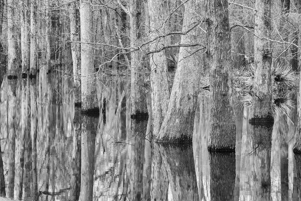 Black and white landscape photograph of wetland trees reflecting onto the glassy surface of a pond.