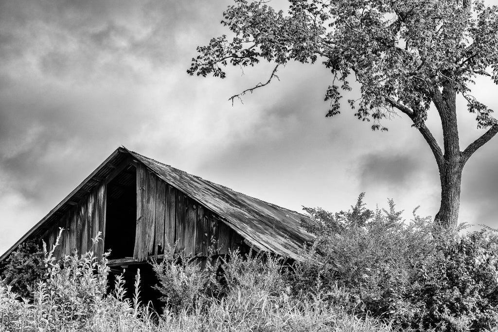 Black and white photograph of an old wooden barn in the tall grass with a tree arching overhead