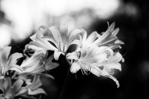 Black and white photograph composition of white flowers contrasted against a dark background.
