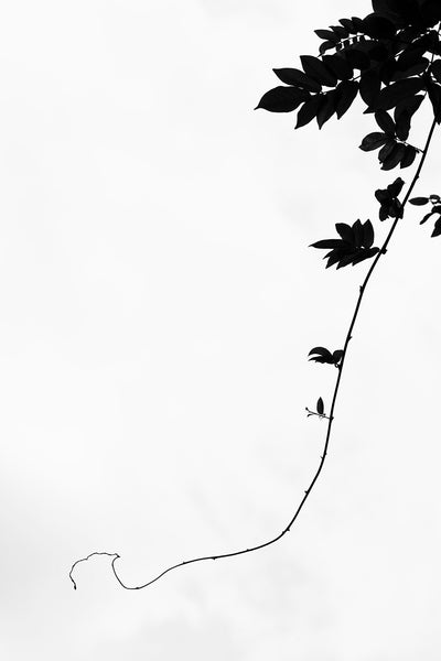 Black and white minimalist photograph of a long vine dangling in front of the cloudy sky.