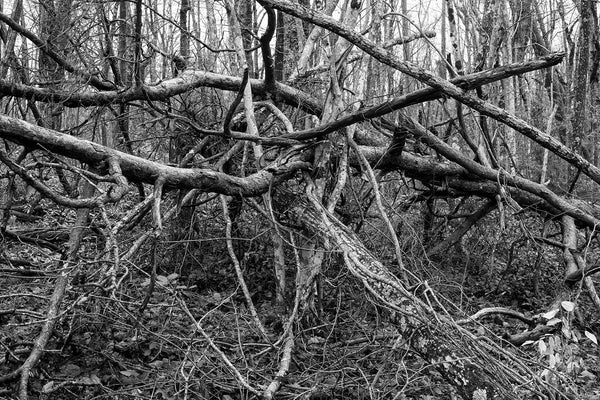 Black and white landscape photograph of a large cluster of fallen trees in the forest.