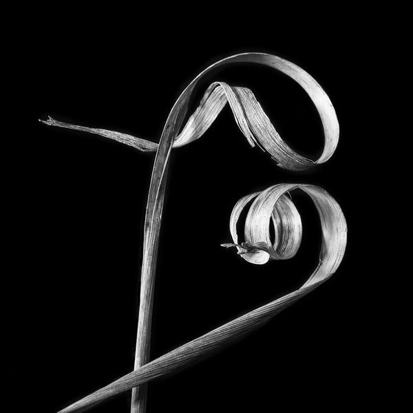 Black and white photograph of two curled winter grasses that together look very much like calligraphy or gestural brush strokes.