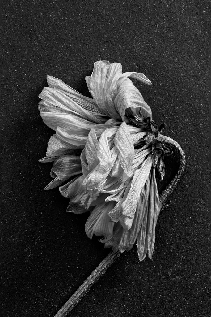 Black and white macro photograph of a dead flower with twisted and textured petals shot on a background of dark Tennessee slate.
