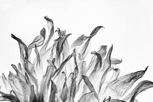 Black and white macro photograph of a the textured petals of a dead flower seen in front of a backlight.