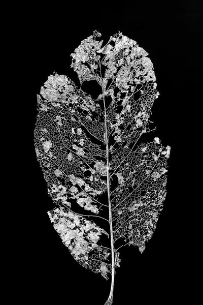 Black and white photograph of a beautifully detailed leaf skeleton on a black background.