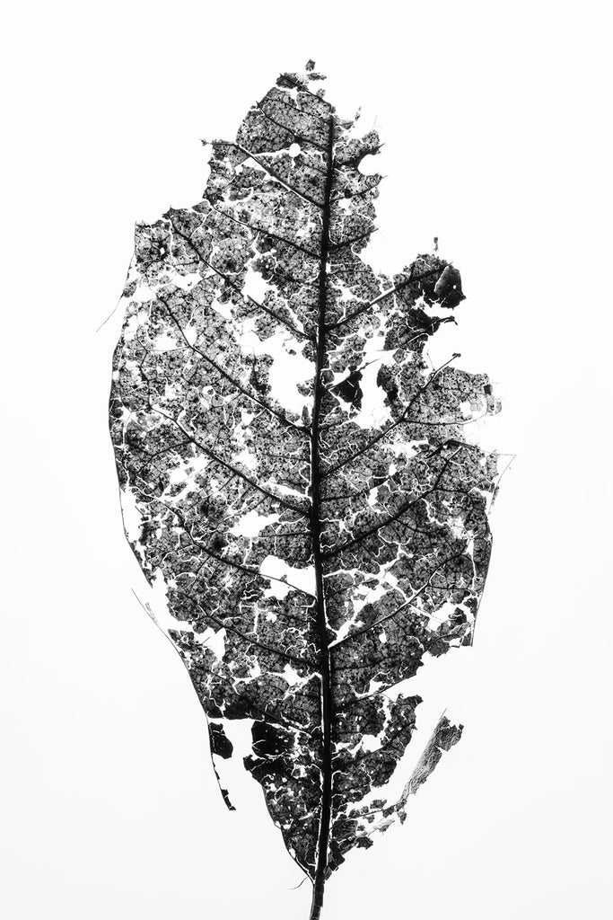 Black and white macro photograph of a partially decomposed leaf shot in great detail against a white background.