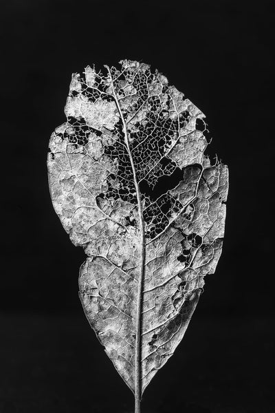 Black and white macro photograph of a textured and decomposing leaf on a black background.