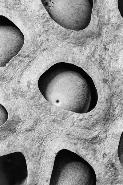 Black and white macro photograph of lotus seeds sitting inside holes in the head of the lotus seed pod.