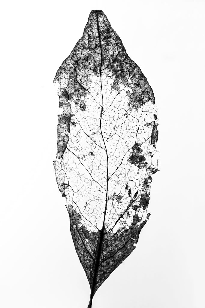 Black and white macro photograph of a decomposing leaf shot in great detail against an illuminated white background revealing the textures and structures beautifully.