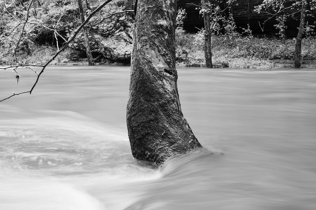 Black and white landscape photograph of large sycamore tree surrounded by rushing river water which has been blurred smooth by its movement.