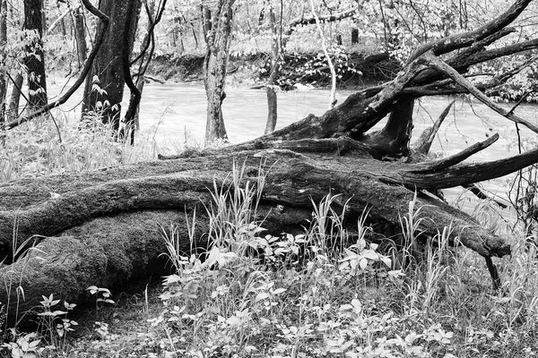 Black and white landscape photograph of giant black tree covered in moss and lying among fresh spring growth beside the river where it tumbled to the ground.