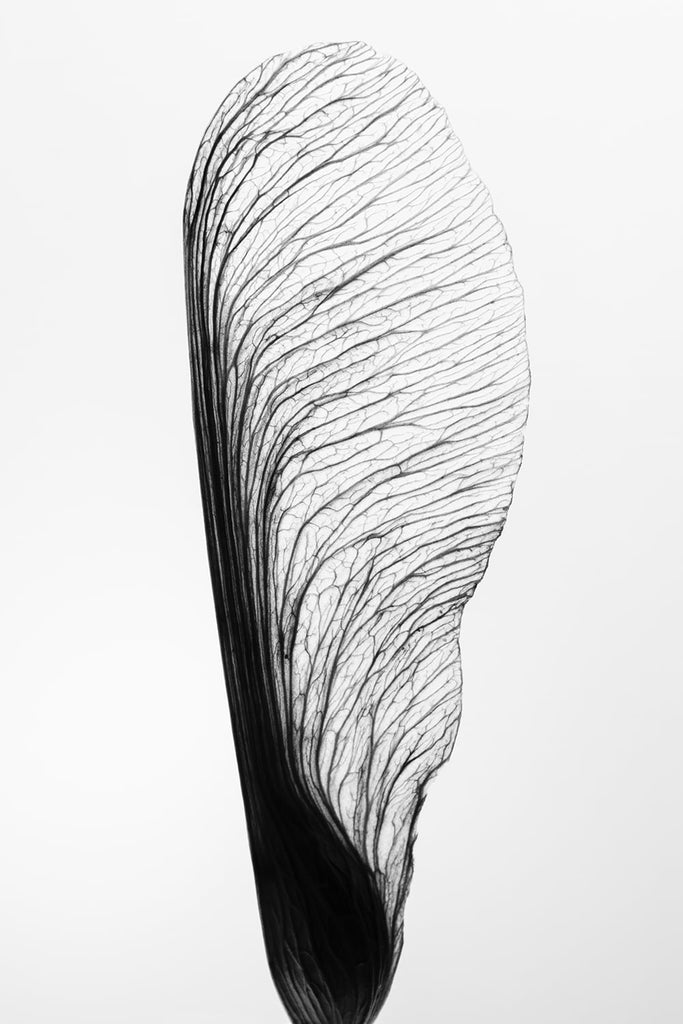 Black and white minimalist macro photograph of a tree seed wing that has been lit from behind to show its details. The seed is strong and beautiful in its simplicity.