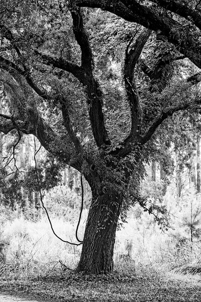 Black and white photograph of a giant southern oak tree with dangling vines seen near Charleston.
