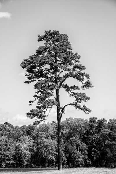 Black and white landscape photograph of a beautiful tall southern pine tree on a sunny day.
