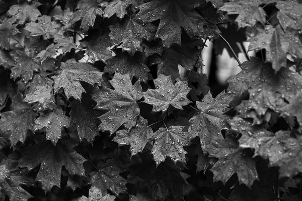 Black and white photograph of a wet tree leaves on a dark and rainy morning.