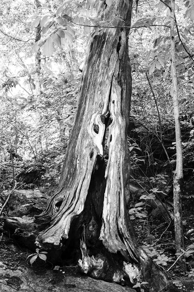 Black and white photograph of the rich woodgrain textures of a beautiful old tree on a wooded hillside
