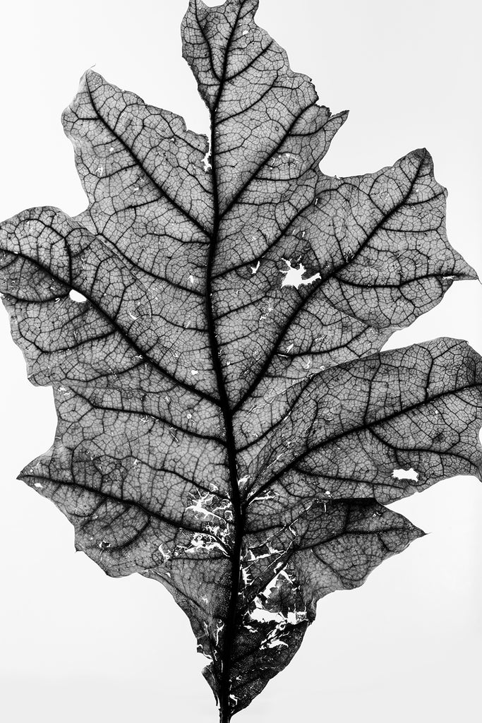 Black and white photograph of a fallen leaf shot in great detail against an illuminated white background