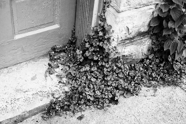 Black and white detail photograph of wild plants growing through the cracks and boundaries of a small town sidewalk and an old cut limestone doorstep.