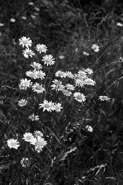 Black and white photograph of wild daisies growing in the tall grass of a meadow in summertime.