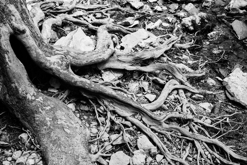 Black and white landscape photograph of curled and tangled roots from a sycamore tree clinging to the rocky bank of a stream