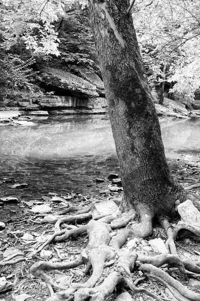 Black and white landscape photograph of a giant sycamore tree growing on the rocky bank of a languid stream