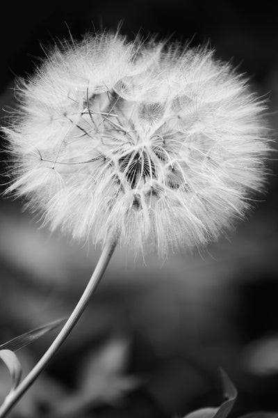 Black and white photograph of the giant dandelion seed head of the Western Salsify plant also known as Yellow Goat's Beard, or by its scientific name Tragopogon dubius.