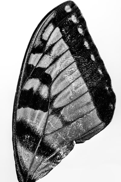 Detailed black and white macro photograph of a textured black and yellow butterfly wing discovered along a creek bed.