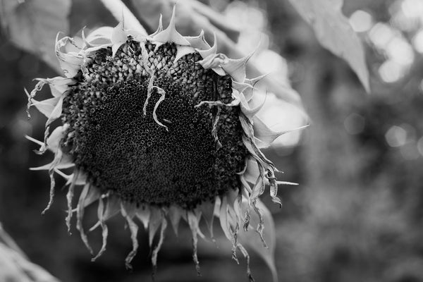 black and white photograph of a sunflower by keith dotson
