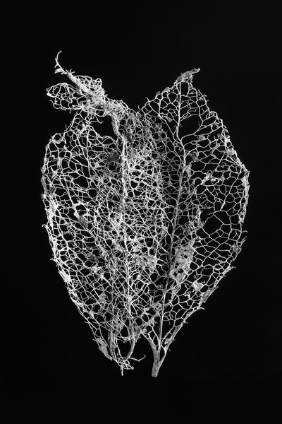 Black and white macro photograph of two tiny fragile leaf skeletons permanently stuck together, shot against a dark background.