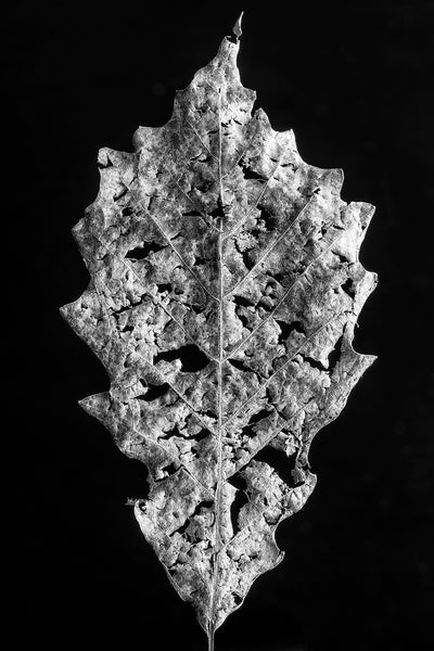 Black and white macro photograph of a partially decomposed fallen leaf shot in great detail against a dark background