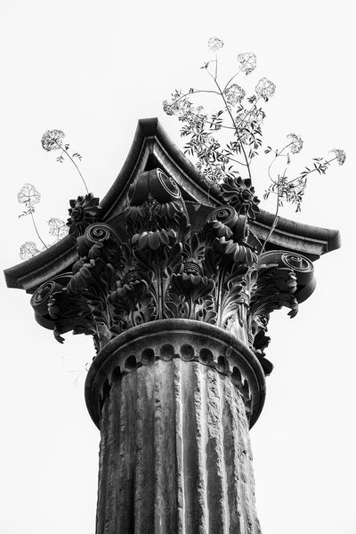 Black and white photograph of weeds growing on top of a ruined Corinthian column from a mansion destroyed long ago