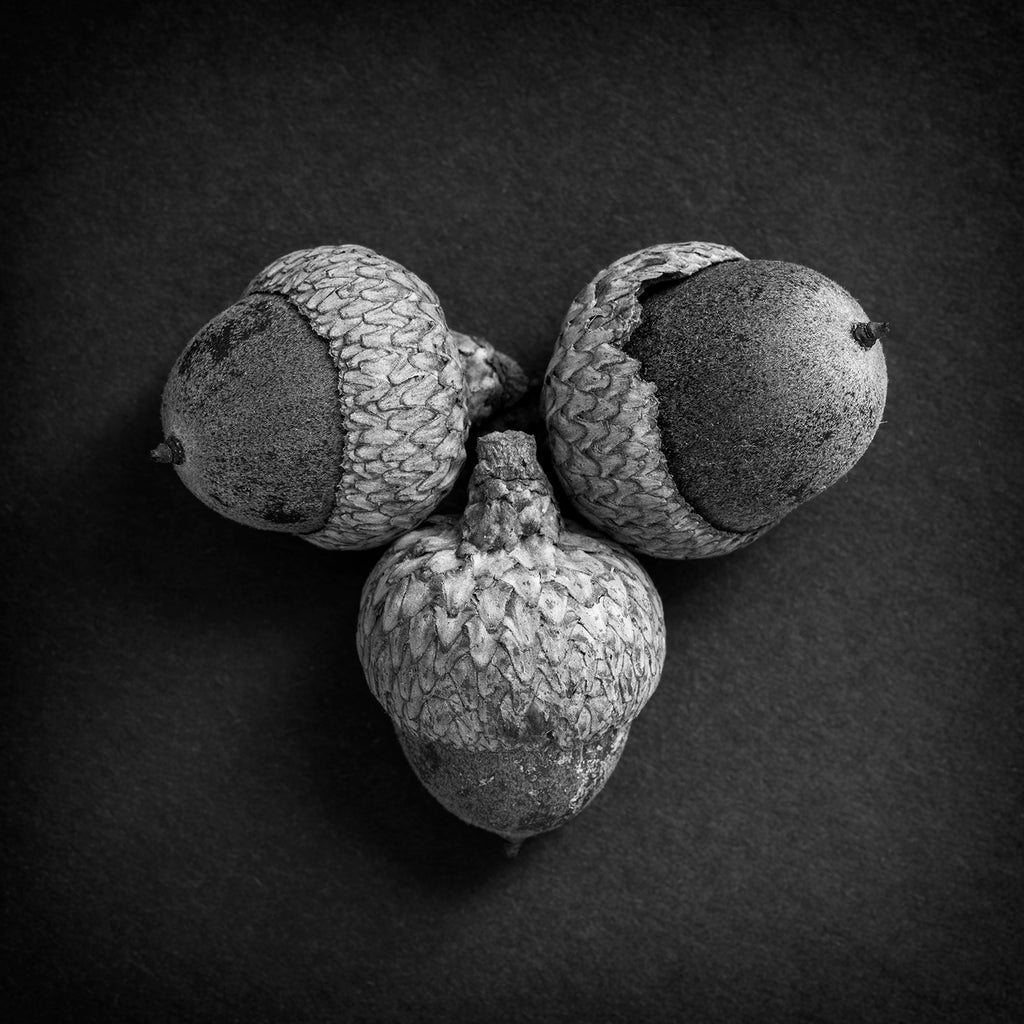Black and white detail photograph of three acorns arranged in a grouping. (Square format)
