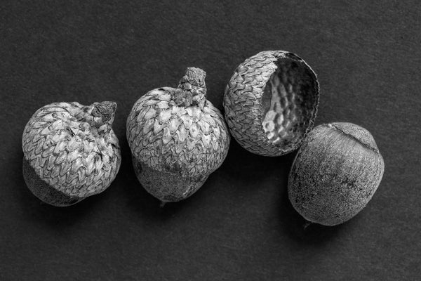 Black and white fine art photograph of three acorns and one separated acorn cap lined up in a row.