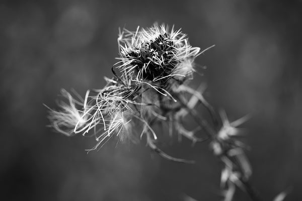 Moody black and white photograph of a spiny winter thistle on a dark winter day. Short depth-of-field gives the photograph a blurry background and adds a dreamy quality.