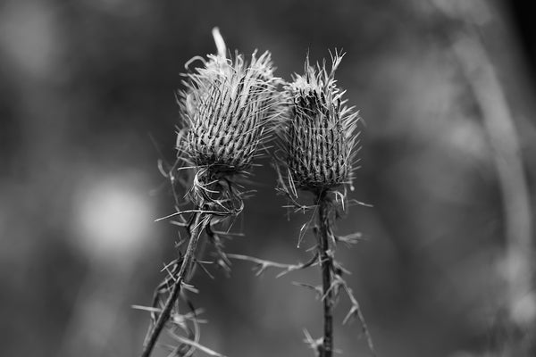 Moody black and white photograph of two winter thistles that seem to be leaning in for a kiss.