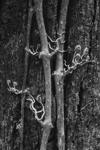 Black and white intimate nature macro photograph of clinging vines attached to the side of a tree.