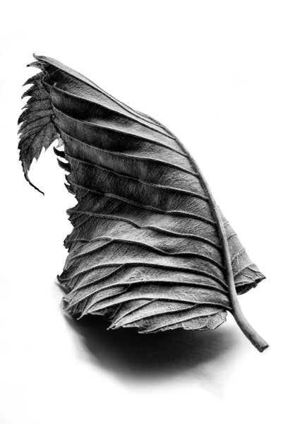 Dramatic black and white macro photograph of a curled leaf with pronounced leading lines.