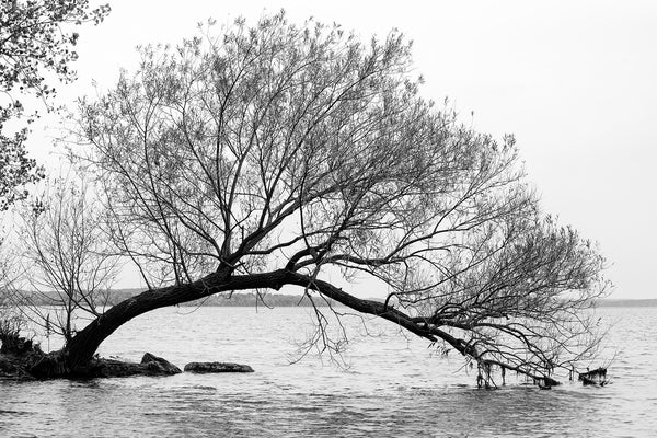 Black and white landscape photograph of a curved willow tree on a promontory of land jutting into a lake.