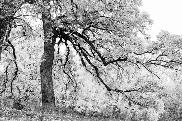 Dramatic black and white landscape photograph of a colorful tree in autumn as rendered in monochrome tones and contrasts.